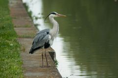 heron standing in border water royalty free stock images