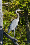 Heron Standing on a Dead Branch Stock Photography