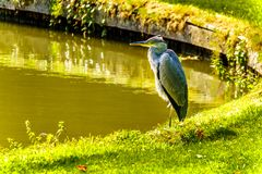 Heron standing at the edge of a Pond royalty free stock photos