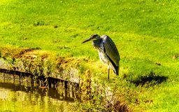 Heron standing at the edge of a Pond stock photography