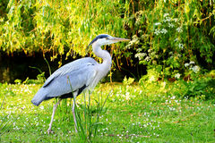 A heron standing on the grass Stock Photography