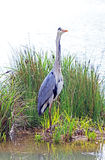 Heron standing on his island Royalty Free Stock Images