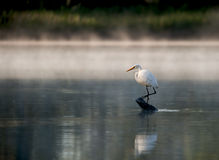 Heron standing on a log in the river. Beautiful heron standing on a log during sunrise on the James River in Virginia Stock Images
