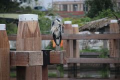 Heron standing on a mooring post searching for fish in the canal Hollandsche IJssel at Gouda in the Netherlands. Heron standing on a mooring post searching for royalty free stock photography