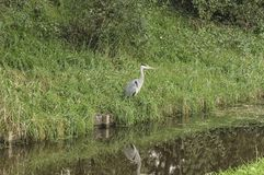 Heron standing near a river stock image