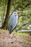 Heron standing Royalty Free Stock Photos