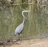 Heron standing at the ponds edge Stock Photography