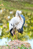 A heron standing on a rock near the swamp and lifting it's wing Royalty Free Stock Photo