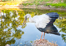 A heron standing on a rock near the swamp Royalty Free Stock Photography