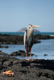 Heron standing on the rocks on the background of the ocean. The Galapagos Islands. Birds. Ecuador. Stock Images