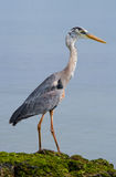 Heron standing on the rocks on the background of the ocean. The Galapagos Islands. Birds. Ecuador. Stock Photography
