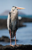 Heron standing on the rocks on the background of the ocean. The Galapagos Islands. Birds. Ecuador. Royalty Free Stock Photography