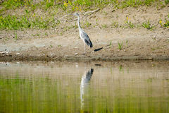 Heron standing on shore Stock Image