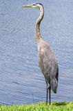 A Heron Standing on the Shore Royalty Free Stock Image