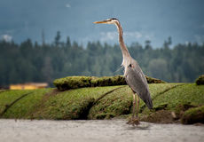 Heron Standing Tall Along Shore Stock Photo