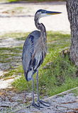 Tricolor Heron Royalty Free Stock Images