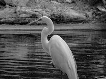 A heron in the middle of a lake. A heron standing on a trunk in the middle of an artificial lake Royalty Free Stock Photography