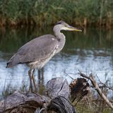 A heron standing on the waterfront stock images