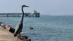 Heron stands on jetty as Pelicans and Seagulls can be seen in distance and on water. Selective focus in this Port Aransas, Texas landscape stock video footage