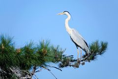Heron. A heron stands on pine tree. Scientific name: Ardea cinerea Royalty Free Stock Images