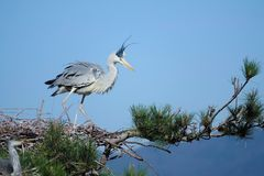 Heron. A heron stands on pine tree. Scientific name: Ardea cinerea Royalty Free Stock Photography