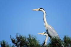 Heron. The heron stands on pine tree. Scientific name: Ardea cinerea Stock Photography