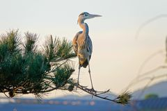 Heron. The heron stands on pine tree. Scientific name: Ardea cinerea Royalty Free Stock Image