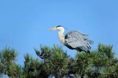 Heron. The heron stands on pine tree. Scientific name: Ardea cinerea Stock Photo