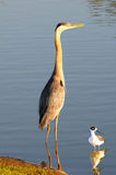 Heron and Stilt in Pond royalty free stock photos