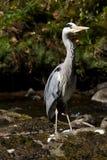 Heron by stream Stock Image