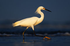 Heron with sun in the morning sunrise. Snowy Egret, Egretta thula, in the coast habitat. Bird with the dark blue sea. Heron in the Royalty Free Stock Photos