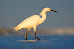 Heron with sun in the morning sunrise. Snowy Egret, Egretta thula, in the coast habitat. Bird with the dark blue sea. Heron in the Royalty Free Stock Photo
