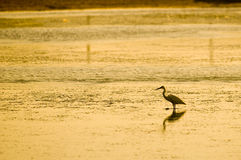 Heron at the sunrise Stock Photo