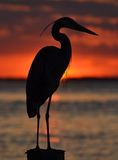 Heron at Sunset Stock Images