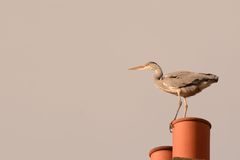Heron surveying Stock Photo