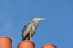 Heron surveying Royalty Free Stock Photo