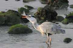 Heron swalling a big fish Royalty Free Stock Images