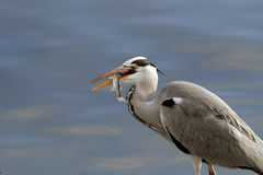 Heron swalling a fish Royalty Free Stock Photo