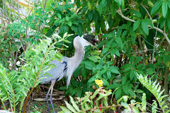 Heron Swallowing a Fish Royalty Free Stock Photos