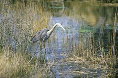 Heron in swamp, Assateague National Wildlife Refuge, MD Stock Images