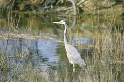 Heron in swamp, Assateague National Wildlife Refuge, MD Royalty Free Stock Photography