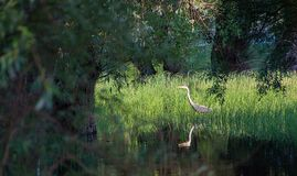 Herons in the swamp. The heron in the swamp is waiting patiently for her prey stock photography