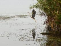 Heron take-off Stock Photography