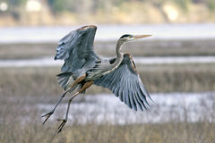 Heron takes flight. Stock Photos