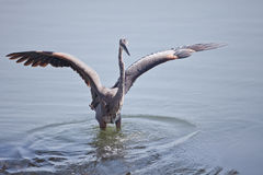 Heron Taking Off Stock Photography