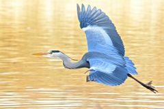 A heron taking off Royalty Free Stock Photo