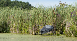 Heron Taking Off In Marshland Royalty Free Stock Images