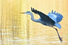 A heron taking off. At the Ornamental Pond, Southampton Common, Southampton, Hampshire,  UK Stock Image