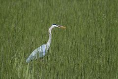 Heron in tall grass. royalty free stock image