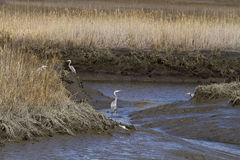 Heron in Tall grasses in the Wetlands Stock Photography